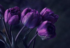 Обои тюльпаны, фиолет, букет, бутоны, темный фон, макро