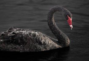 Обои озеро, вода, лебедь, клюв, птица