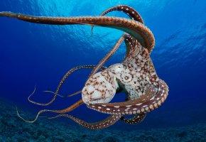 Обои осьминог, плывет, море, щупальца, присоски, дно