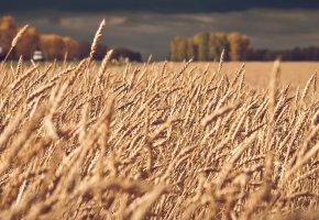 Обои поле, колос, пшеница, хлеб, небо
