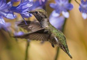 Обои цветы, голубые, агапандус, птица, колибри