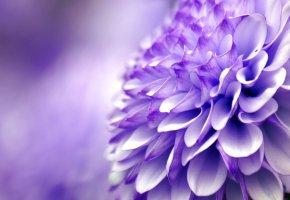 Обои цветок, хризантема, фиолетовый, макро, лепестки