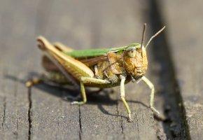 Обои кузнечик, насекомое, природа, усы, лапы, крылья