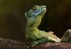Обои ящерица, зеленая, макро, ветка, взгляд