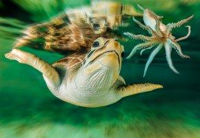 Обои черепаха, кальмар, взгляд, плавники, щупальцы