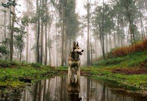 Обои собака, взгляд, друг, лес, вода, отражение