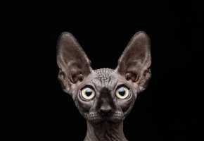 Обои кот, сфинкс, уши, глаза, чёрный фон