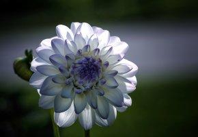Обои цветок, георгина, белые, голубые, лепестки